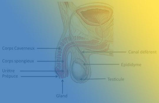 Pathologies des organes génitaux externes